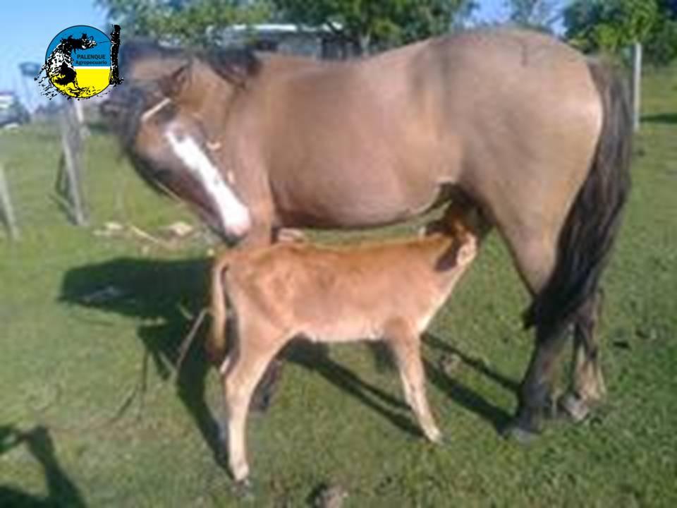 imagen de ternerita mamando en la yegua