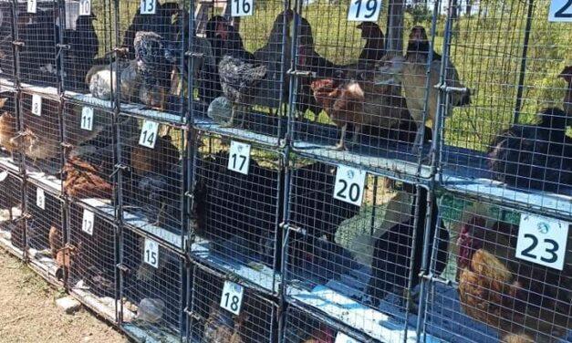 La Pedrera se vendieron más de 1.000 aves
