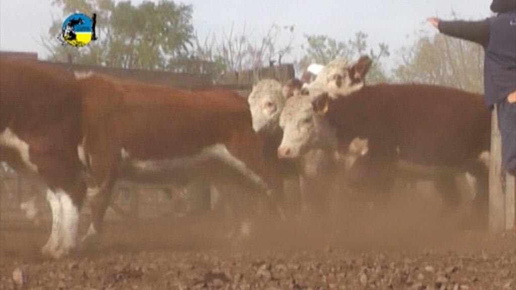 imagenes de ganados saliendo del corral novillo mercosur: brasil alcanzó a uruguay