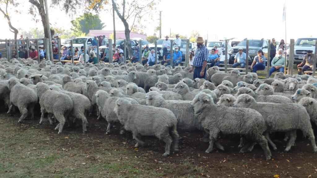 imagen de lanares en la pista de la feria zapará