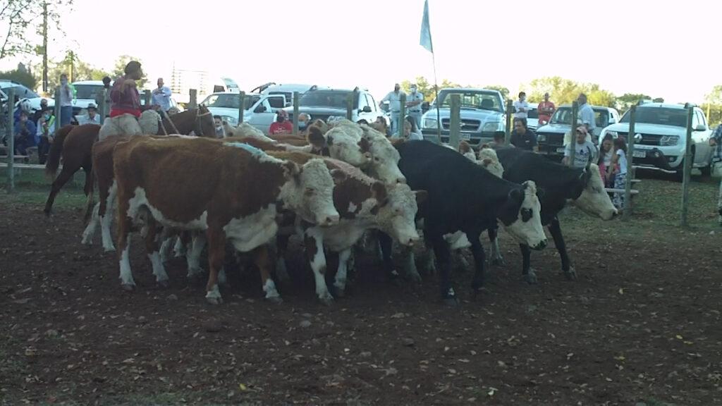 imagen de vacas en la pista de la feria zapará