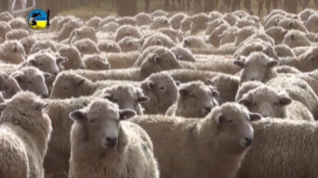 imagen de lanares encerrados en el corral