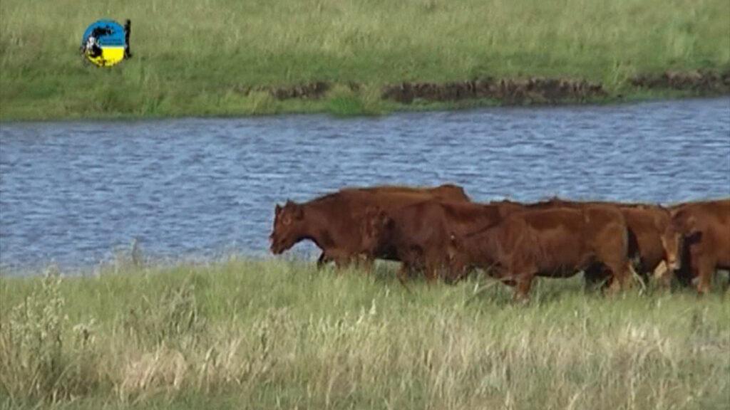 imagen de ganado cruzando al lado de un lago en el campo