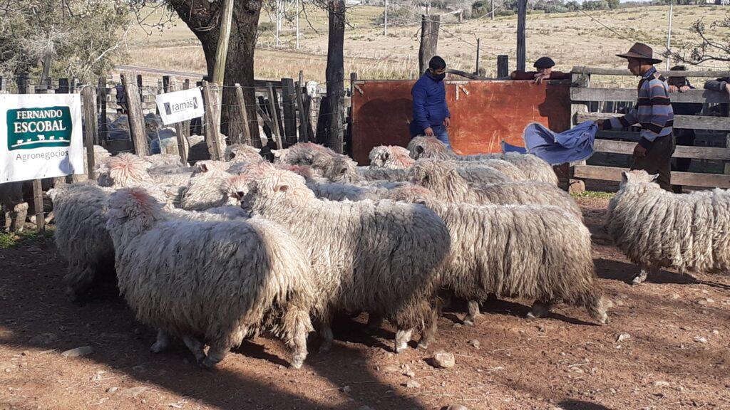imagen de lanares con lana en la pista de luján: precios de la normalidad invernal
