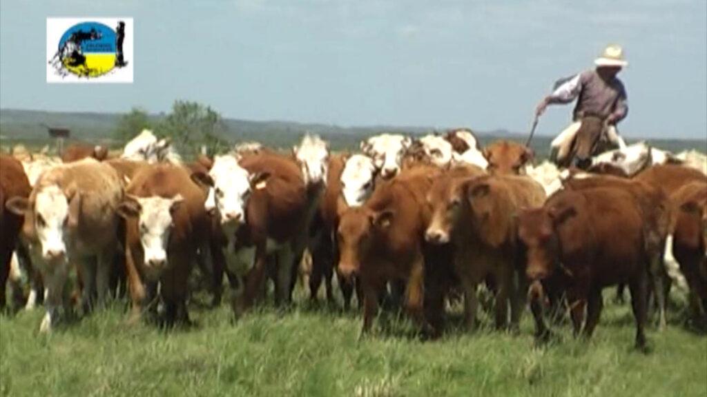 imagen de ganado en el campo novillo mercosur: aumentos generalizados