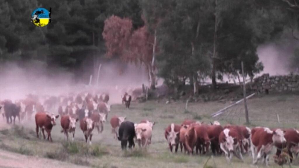 imagen de tropa de ganado levantando tierra mercado de haciendas y venta de campos
