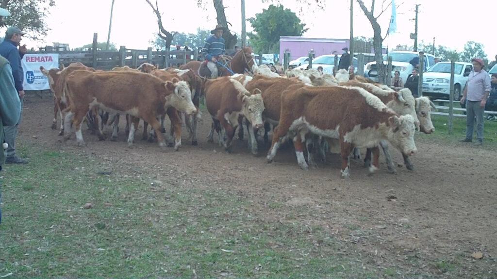 imagen de vacas en pista de local zapará 30 años